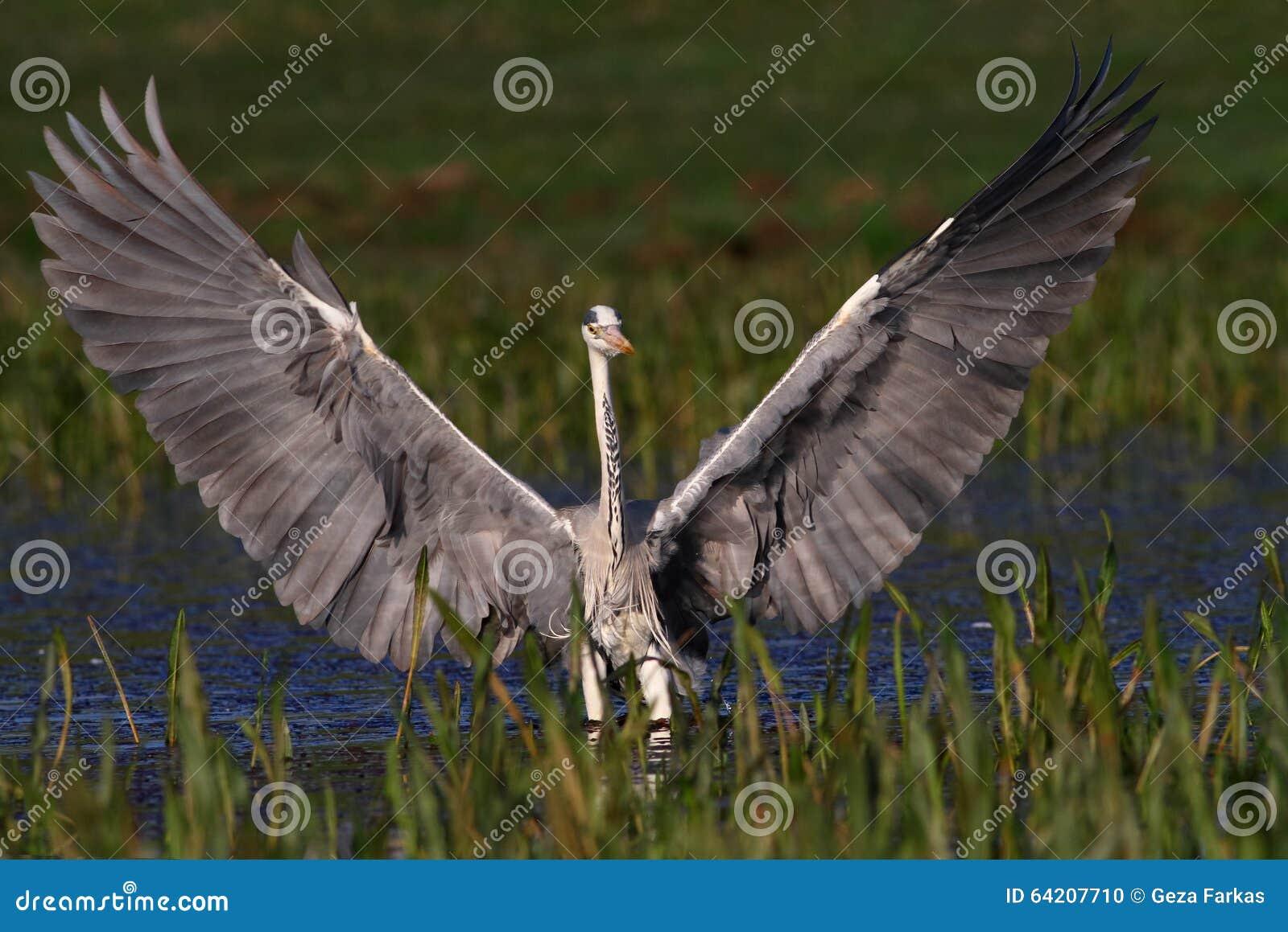 Alas grandes del aterrizaje y de la demostración de Grey Heron
