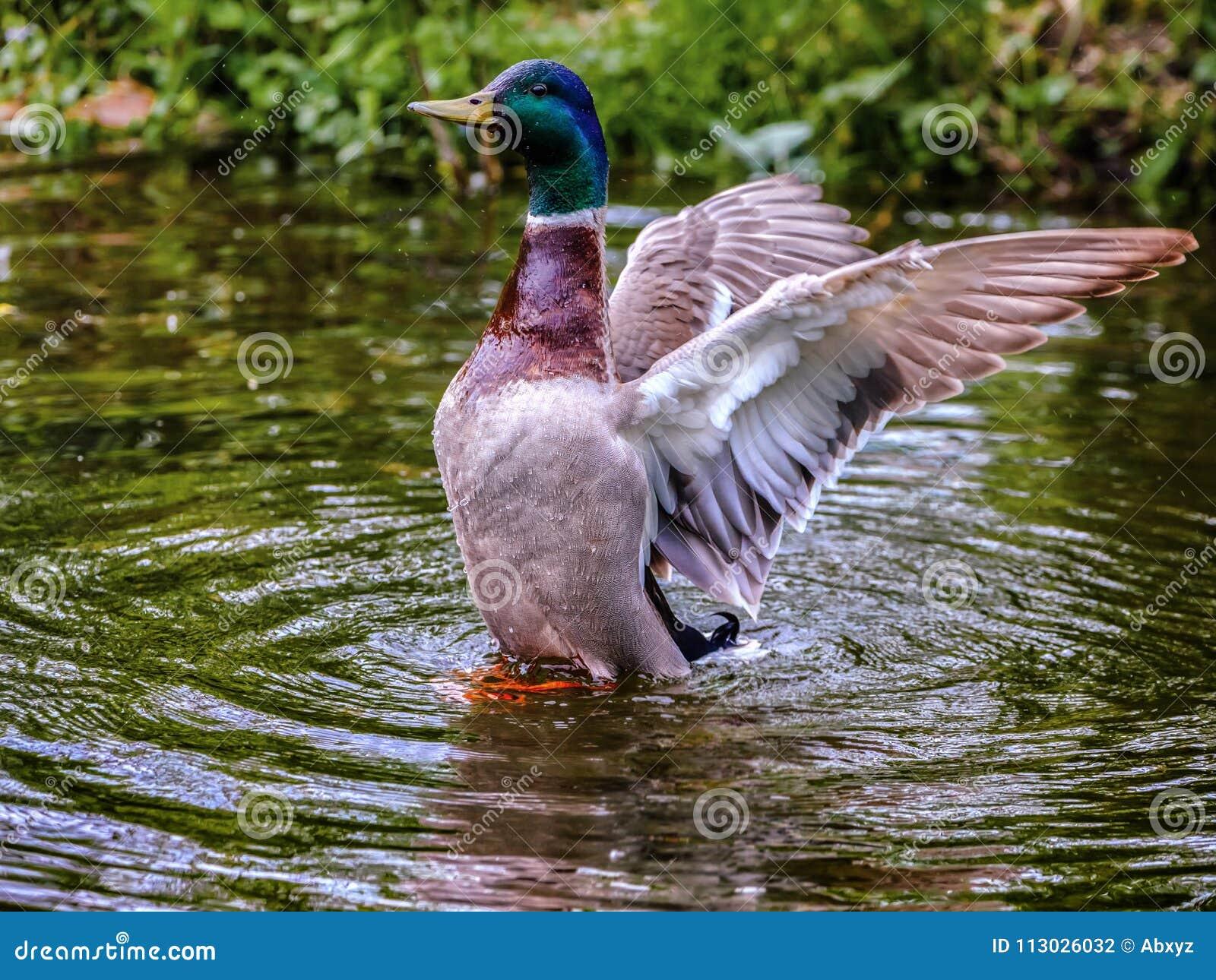 Alas que agitan del pato macho salvaje
