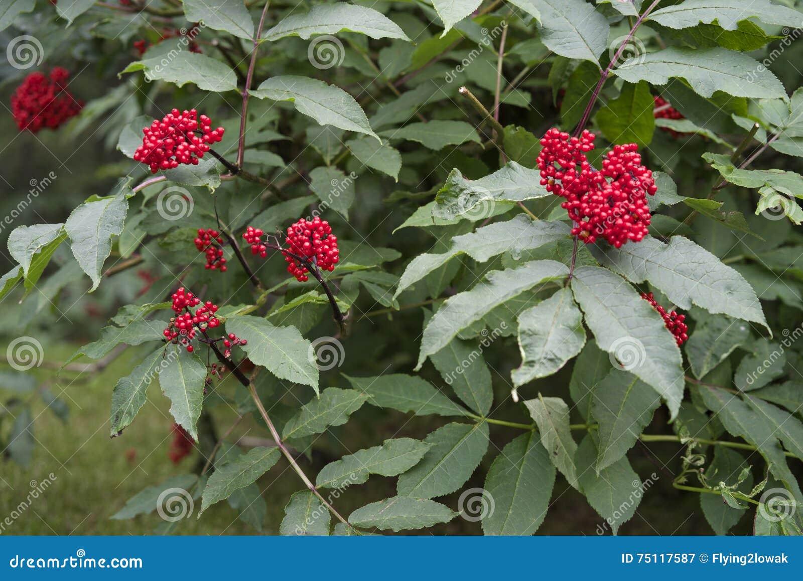 Alaska berg Ash Berries