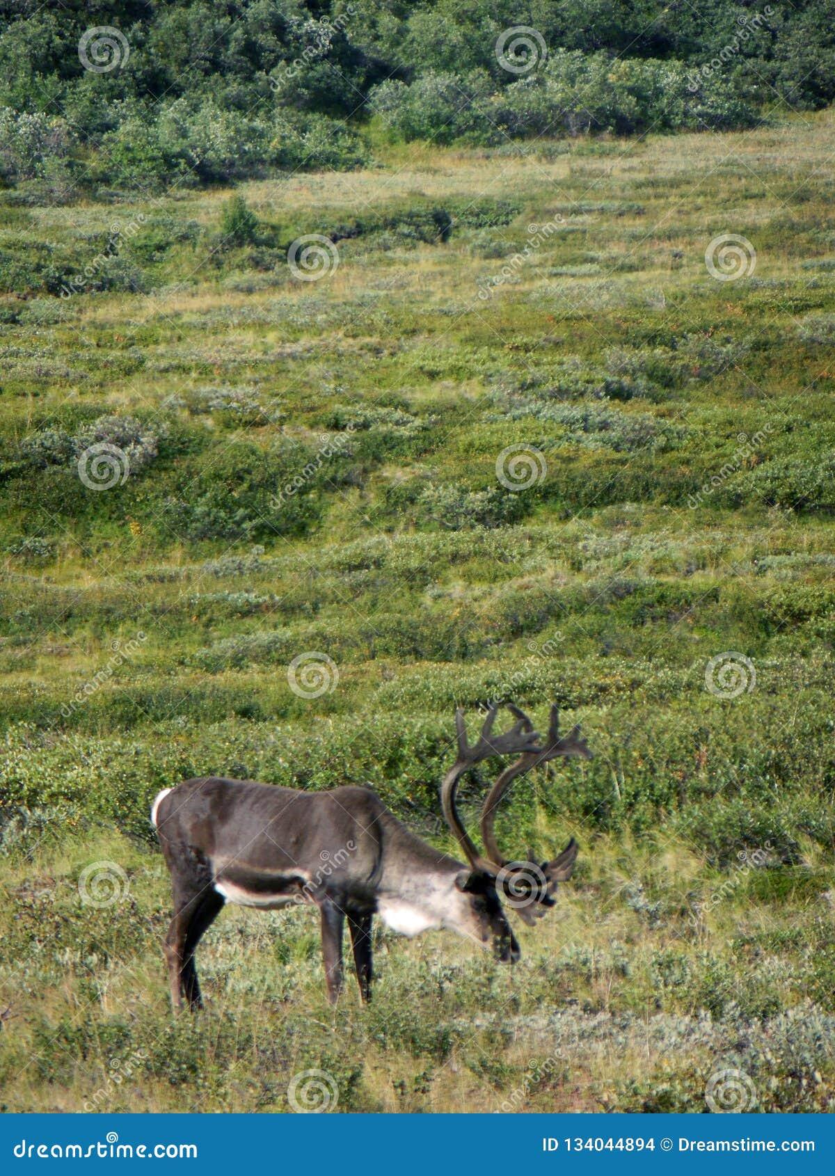 Alaska - Denali National Park Caribou