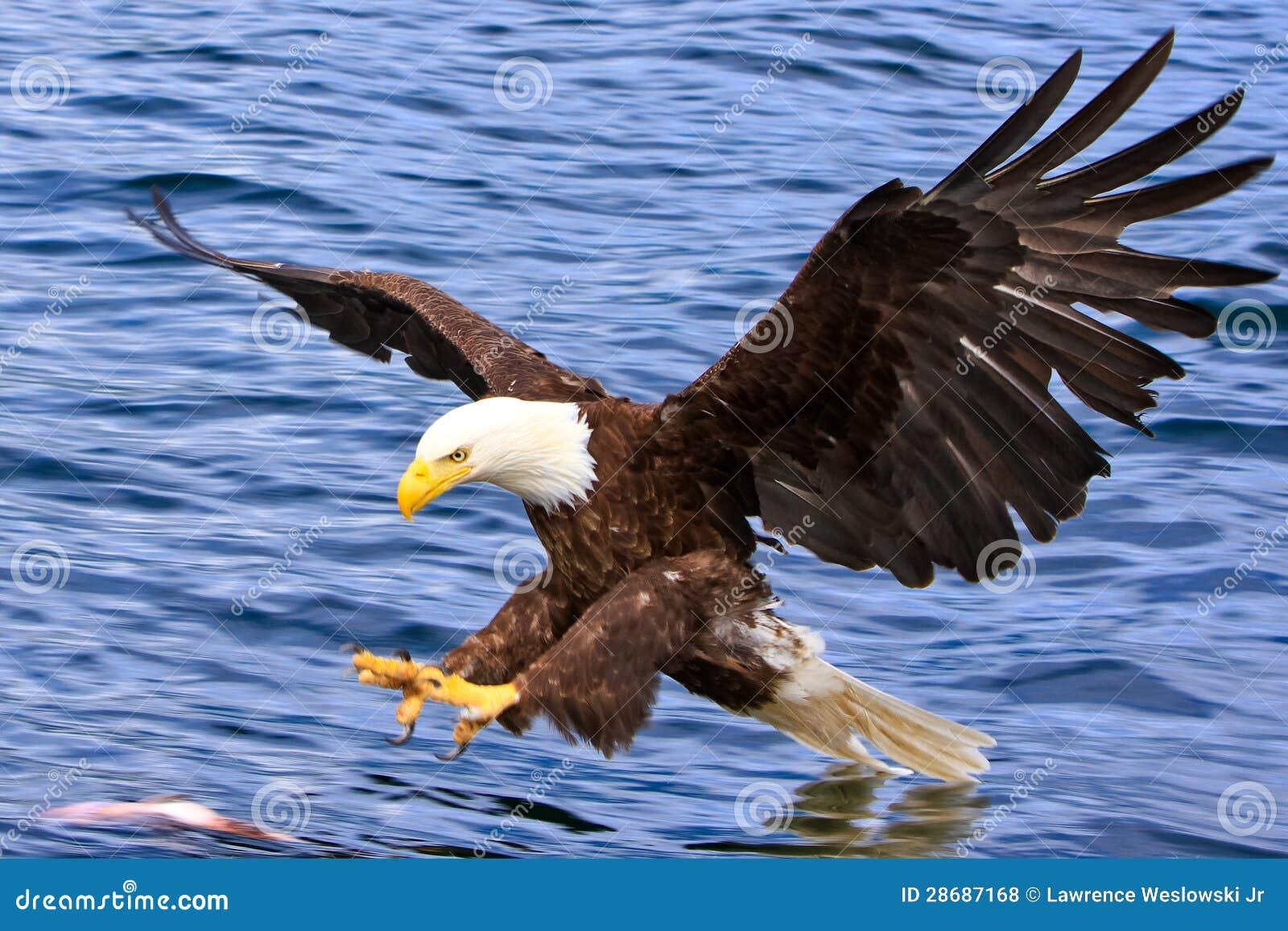 Alaska Eagle calvo que ataca un pescado