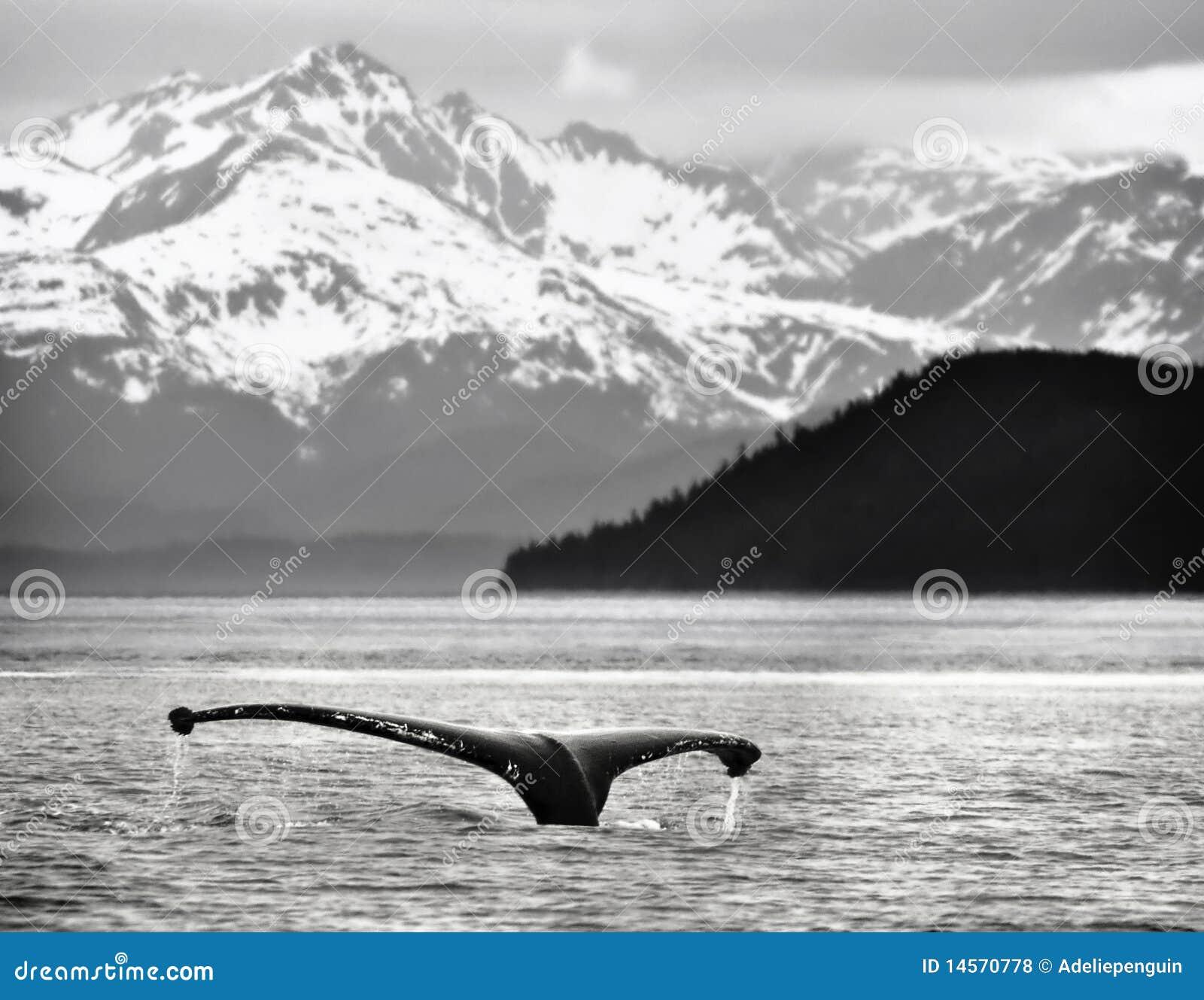 Alaska humpback ogonu wieloryb