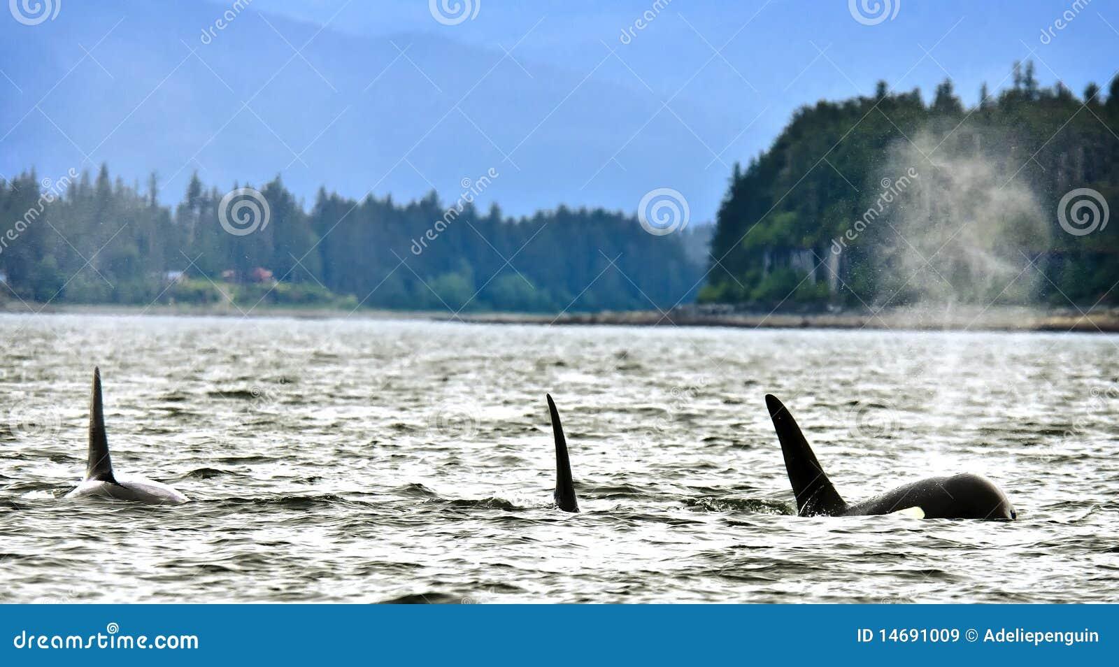 Alaska orcas