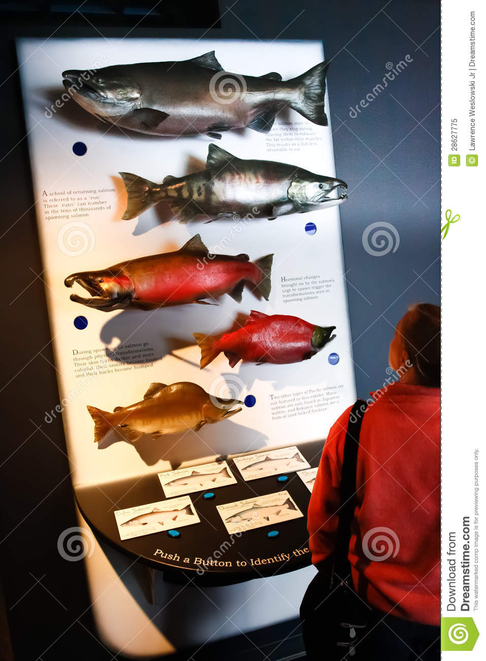 Alaska Sea Life Center Pacific Salmon Display