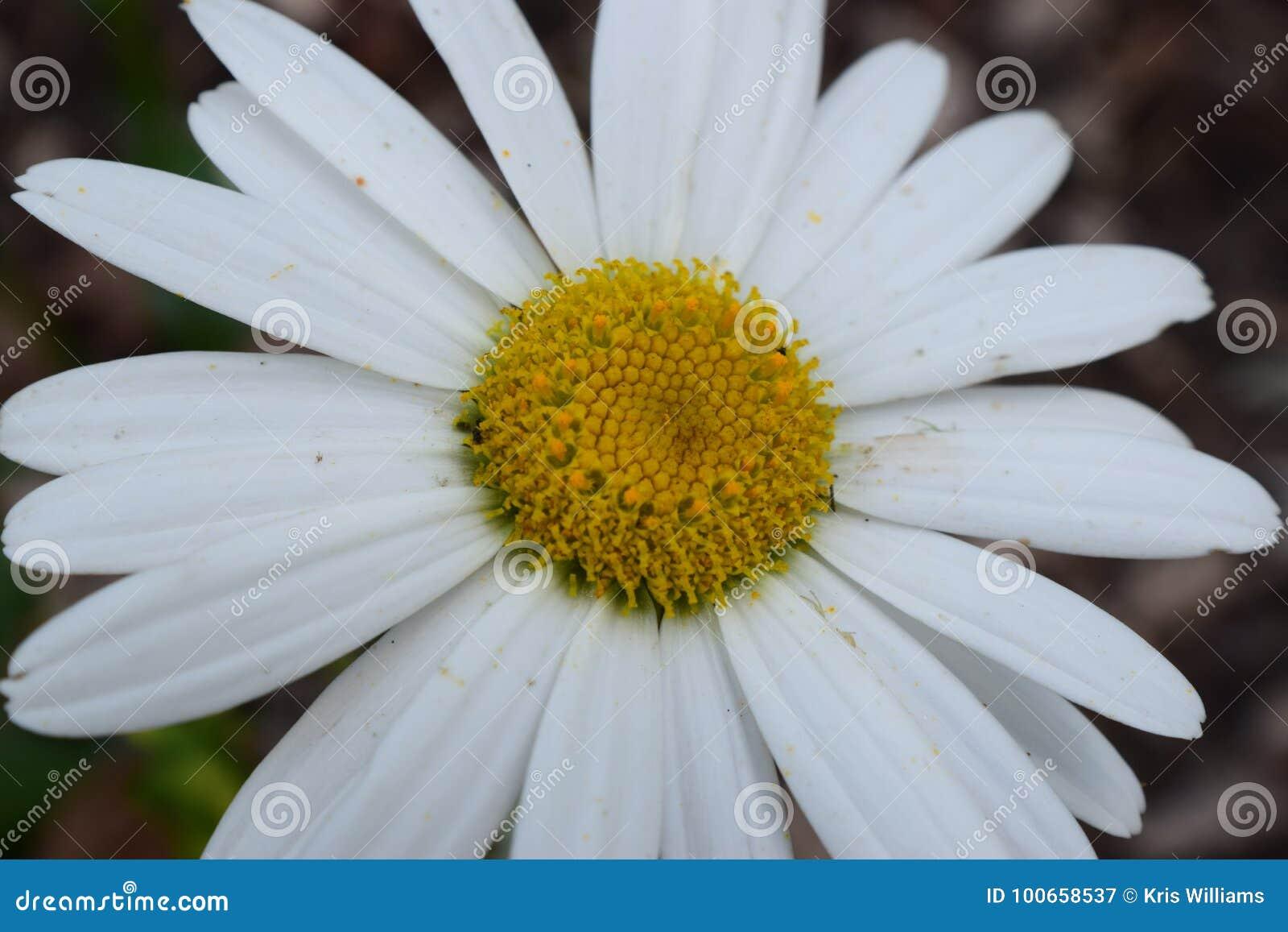 Alaska Shasta Daisy Flower Bloom Stock Image Image Of Colorful