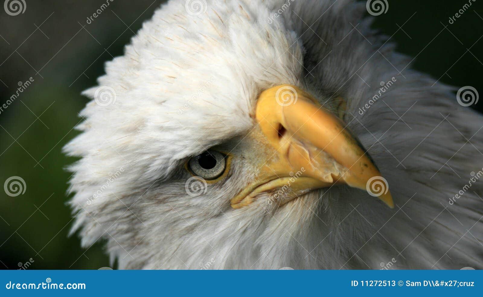 Alaska skallig örn USA