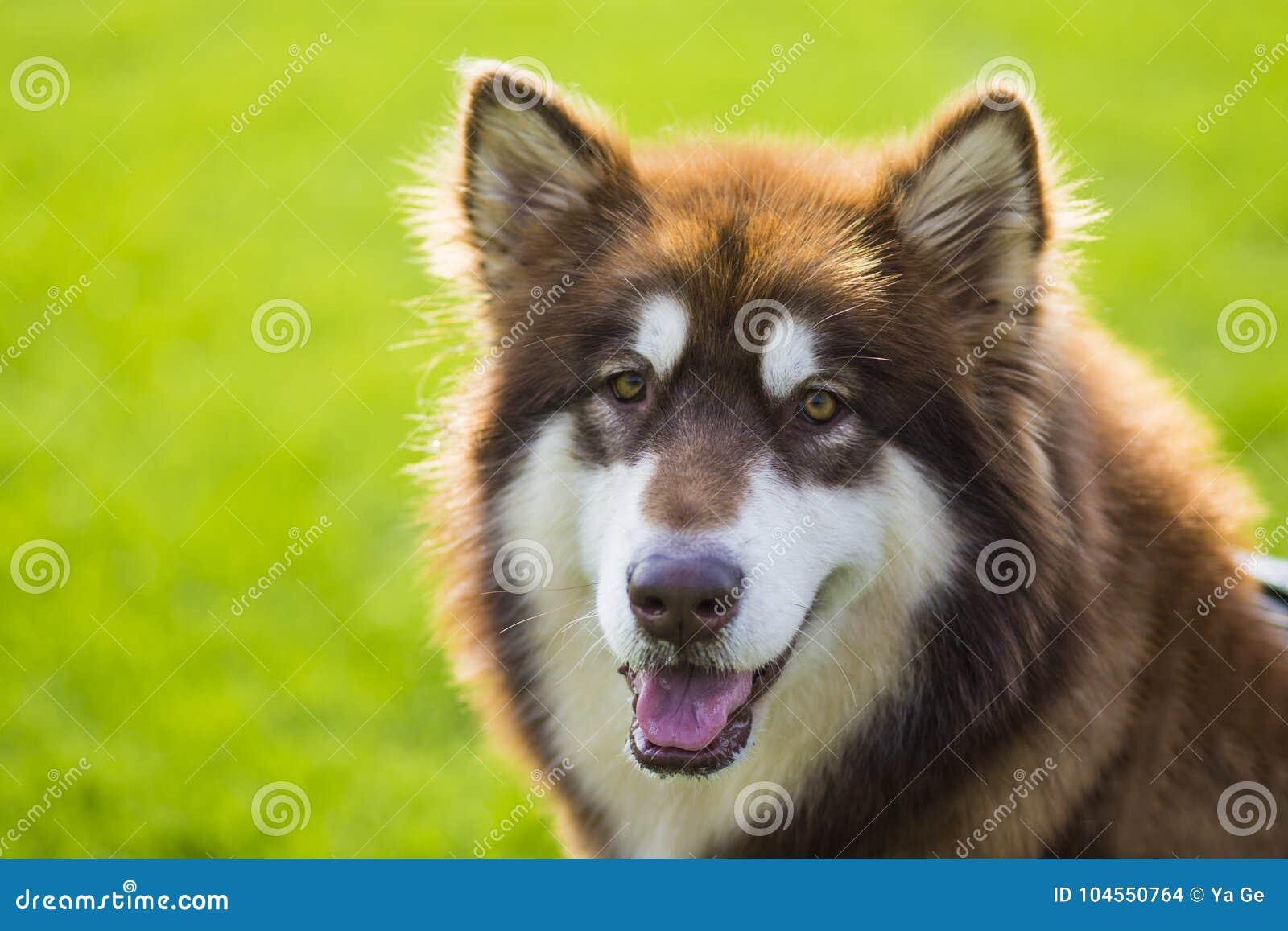 Giant Alaska Dog Stock Photo Image Of Name Eskimo 104550764