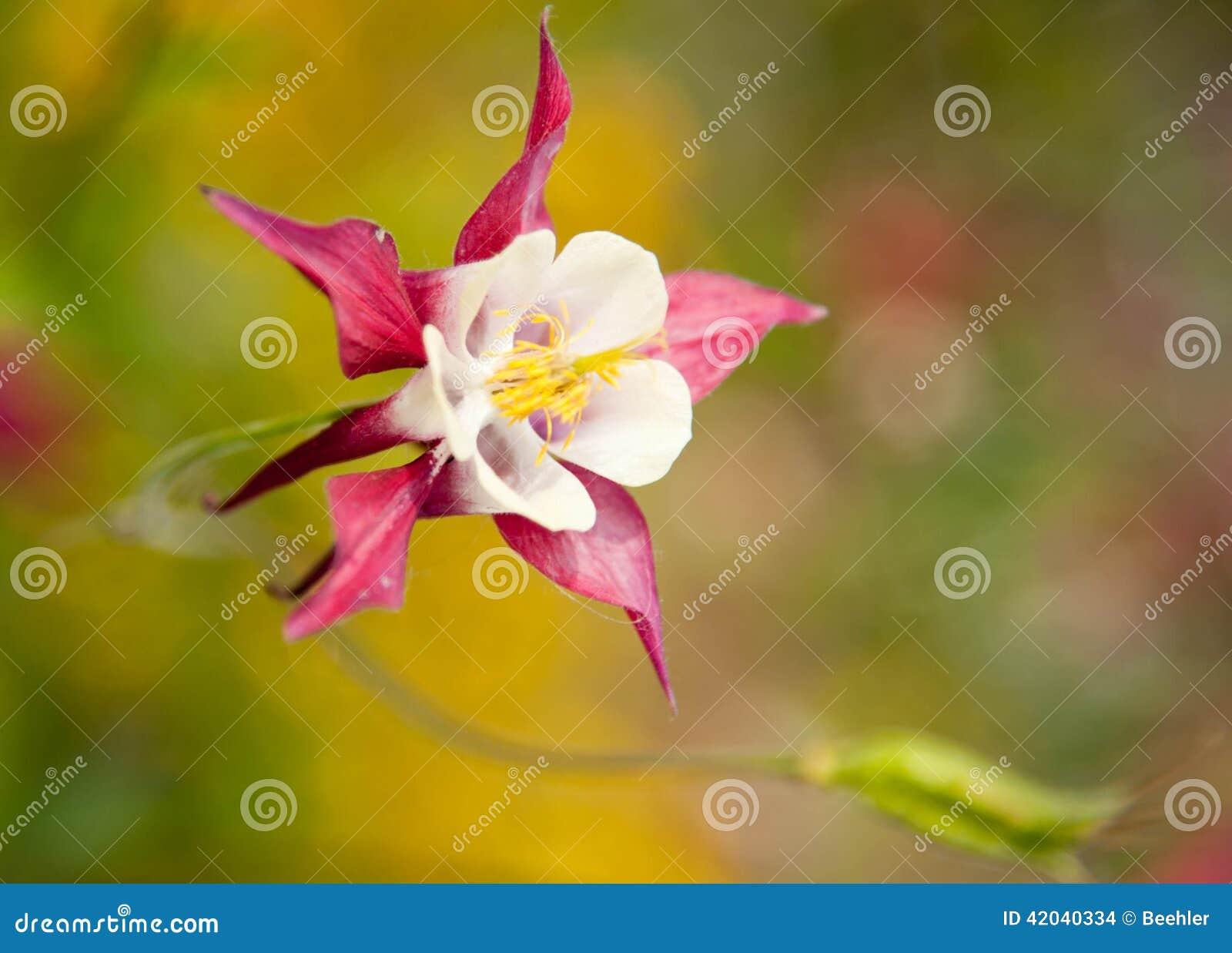 Alaskabo blomma