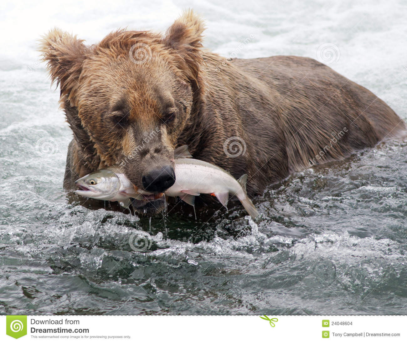 Alaskan Grizzly Bear Salmon