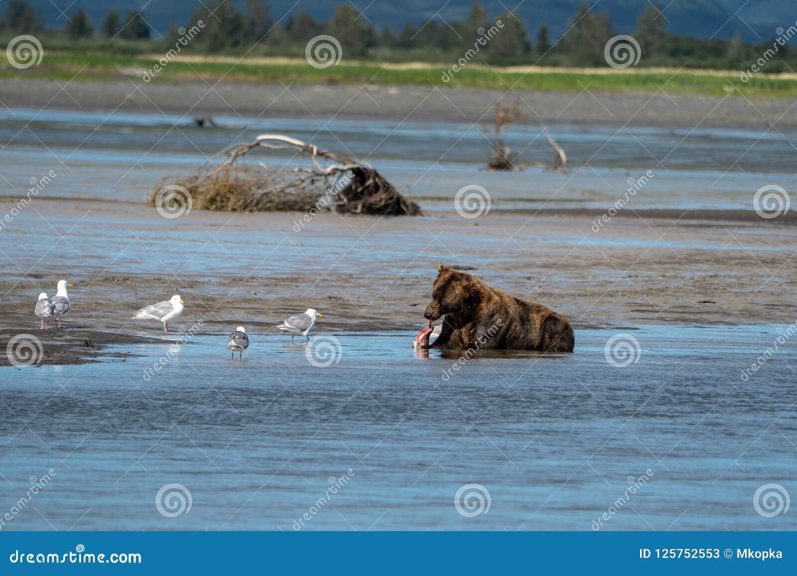 Alaskan coastal brown bear eats a salmon fish in Katmai National Park