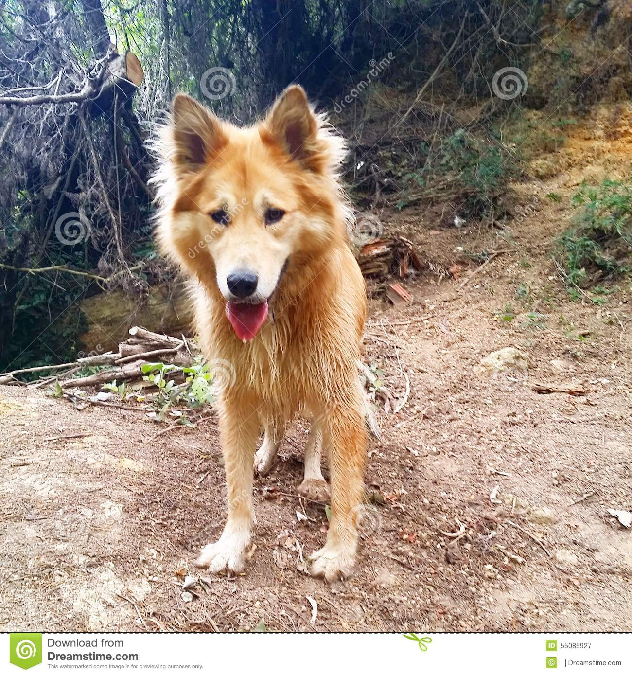 Alaskan Malamute Cross Golden Retriever Stock Image Image Of