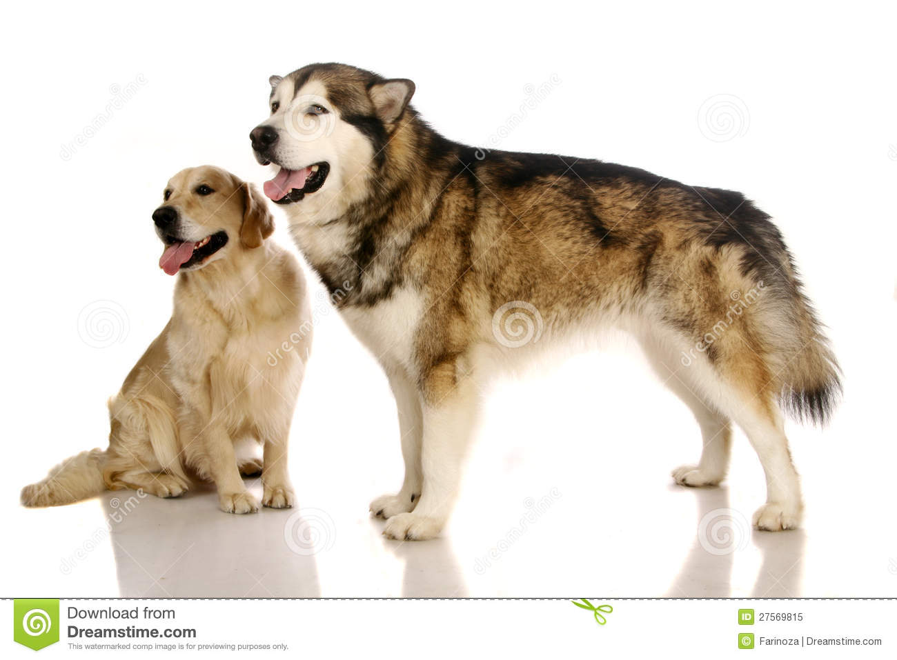 Alaskan Malamute Dog And Golden Retriever Stock Image Image Of