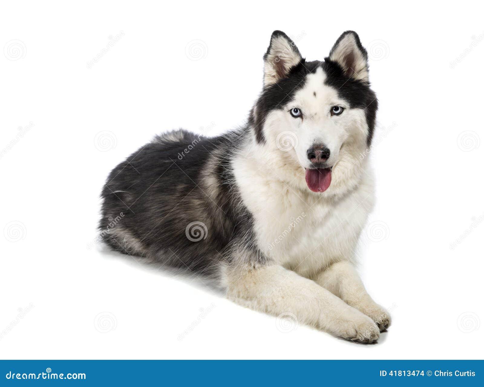 Small Husky Looking Dog