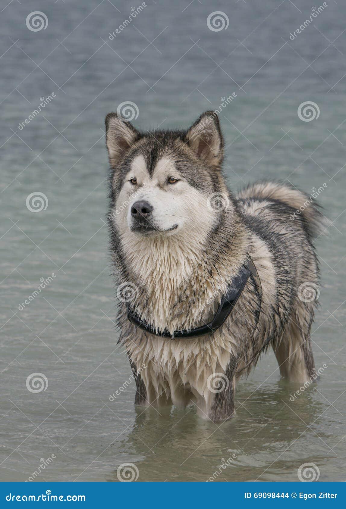 Sable Alaskan Malamute