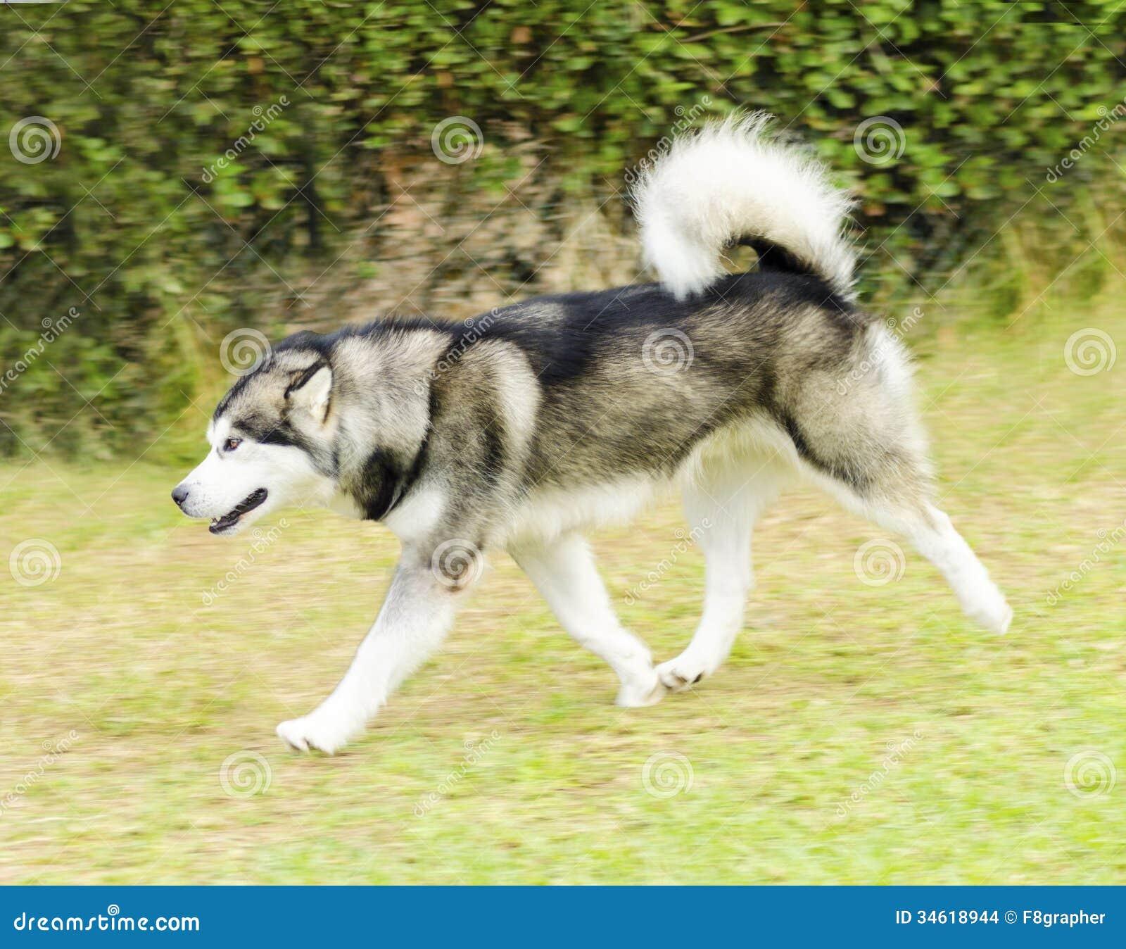 Alaskan Malamute Stock Images - Image: 34618944