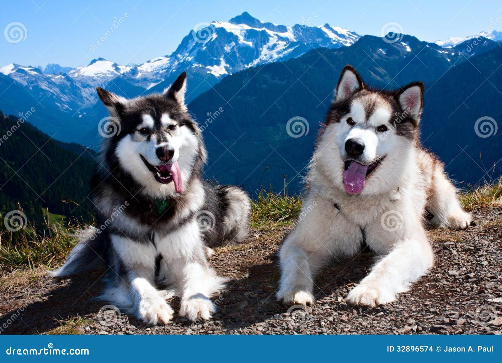 Giant Alaskan Malamute Dogs For Sale