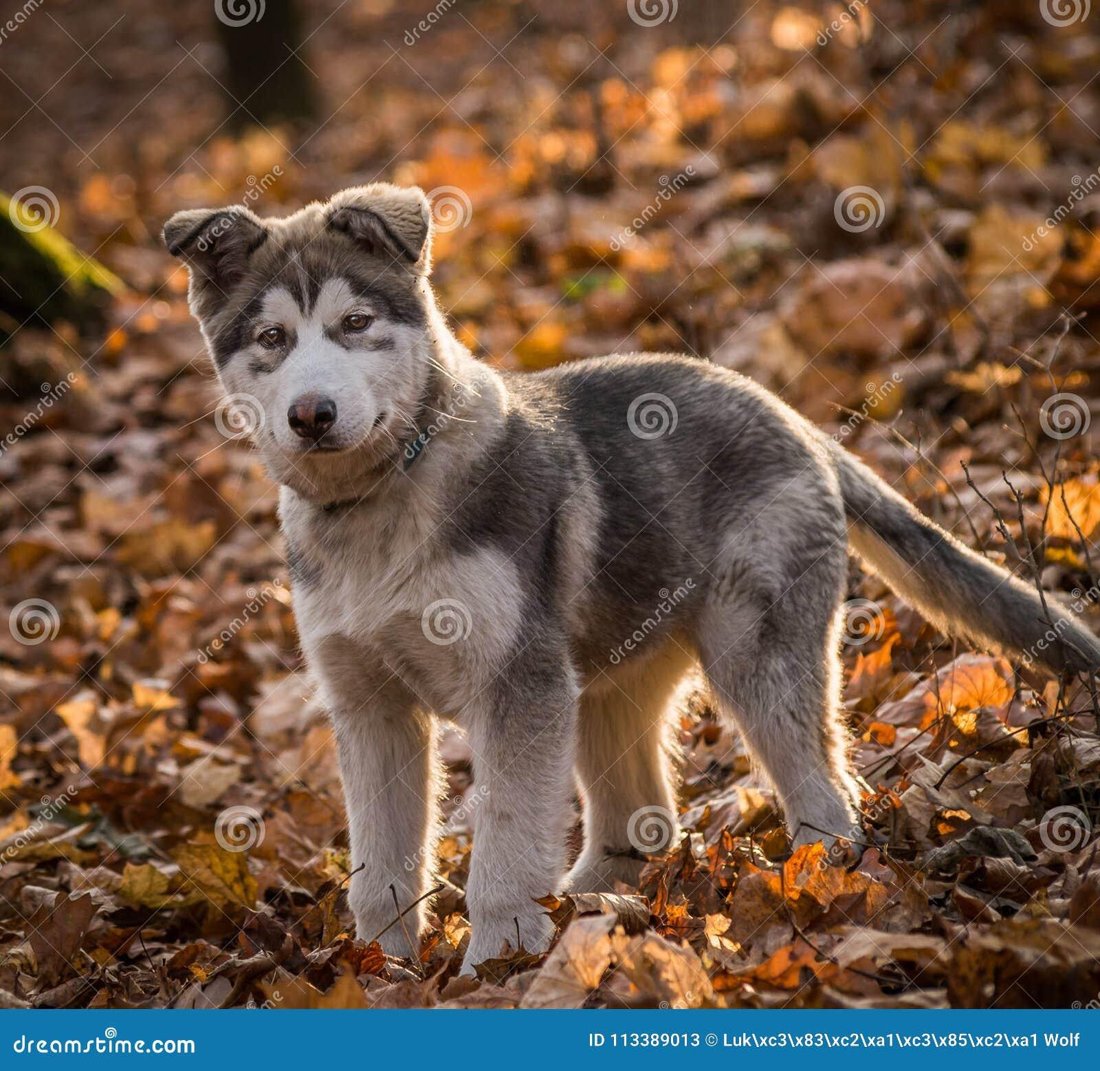 Alaskischer Malamute Pupy Canis Lupus familiaris männlich