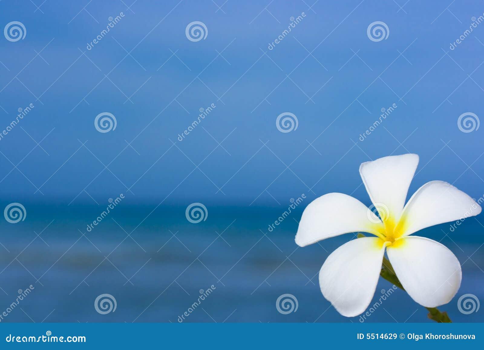 Alba Blume des Plumeria