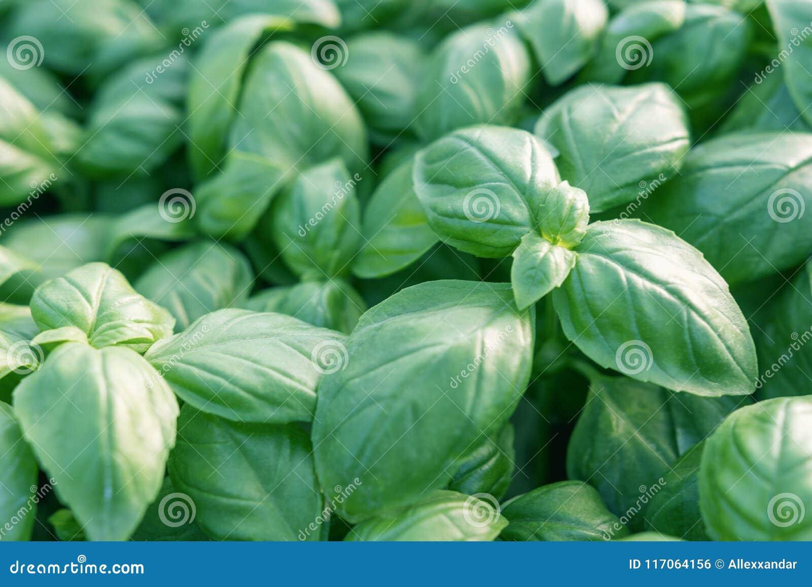Albahaca fresca Albahaca verde Fondo verde de la comida de la albahaca Mucho