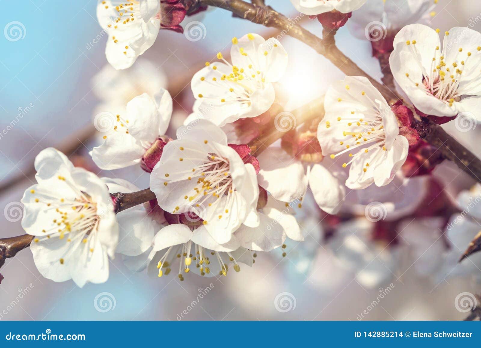 Albaricoquero floreciente