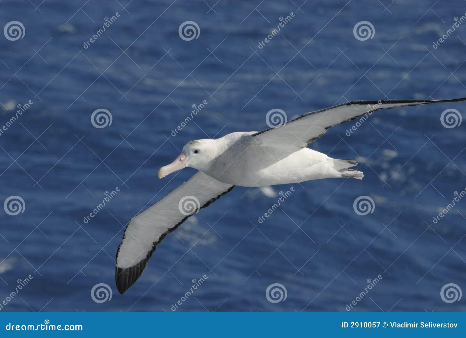 Albatros que vaga