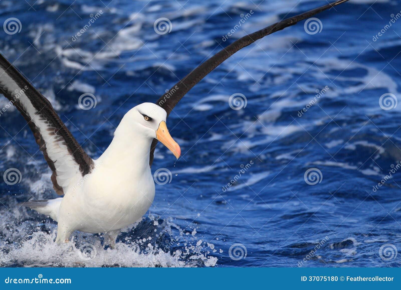 Download Albatros (Thalassarche Melanophris Impavida) Zdjęcie Stock - Obraz złożonej z zmiana, fauny: 37075180