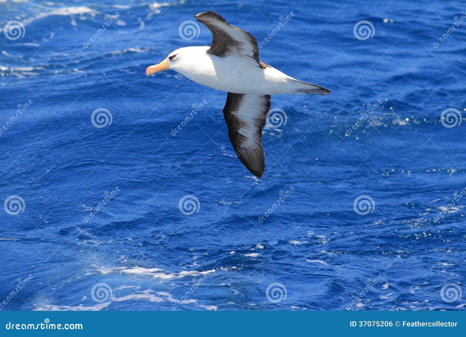 Download Albatros (Thalassarche Melanophris Impavida) Zdjęcie Stock - Obraz złożonej z zimno, woda: 37075206