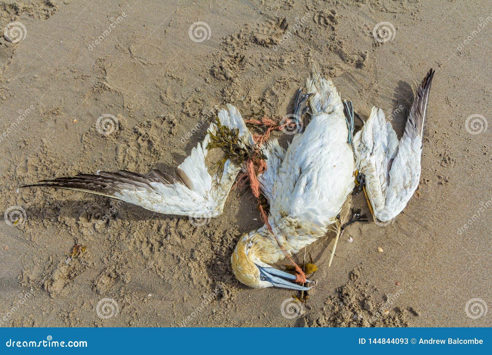 Albatroz do norte inoperante prendido na rede de pesca pl?stica