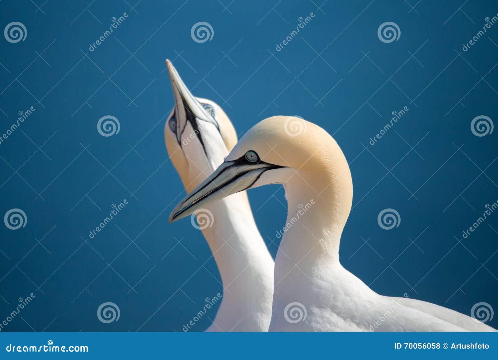 Albatroz do norte, pássaros no amor