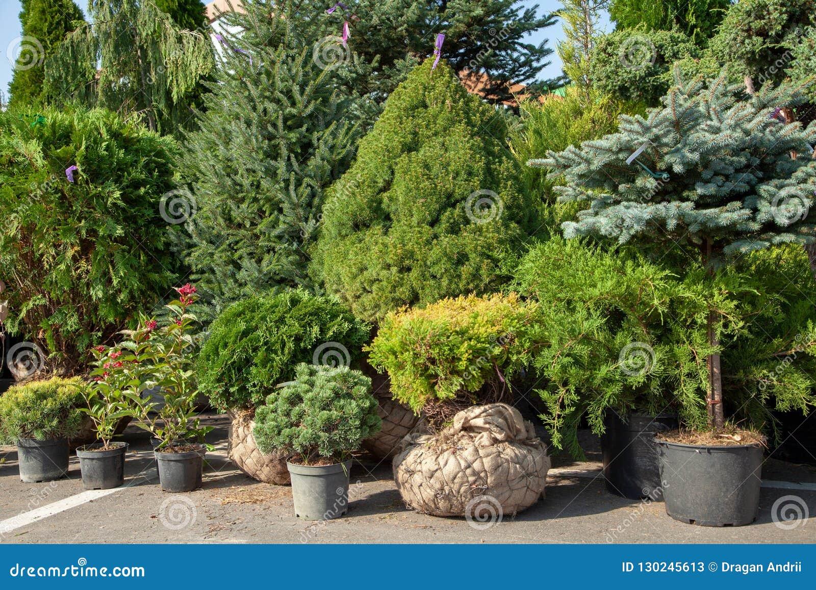 Alberelli Ornamentali Da Giardino alberelli dei cespugli e delle conifere in vasi nella scuola