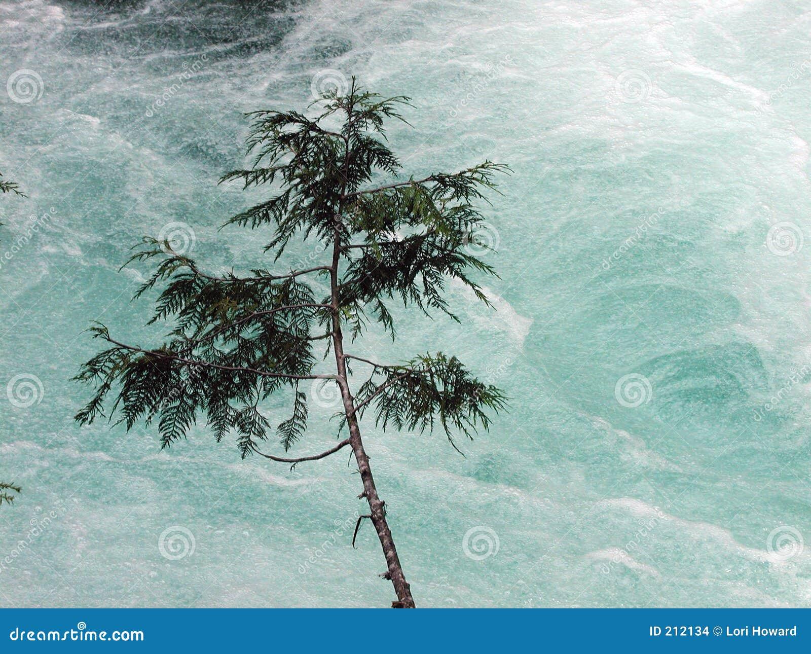 Alberello del cedro sopra il fiume