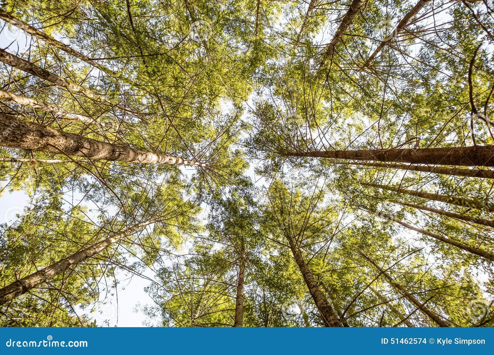 Alberi alti in una foresta