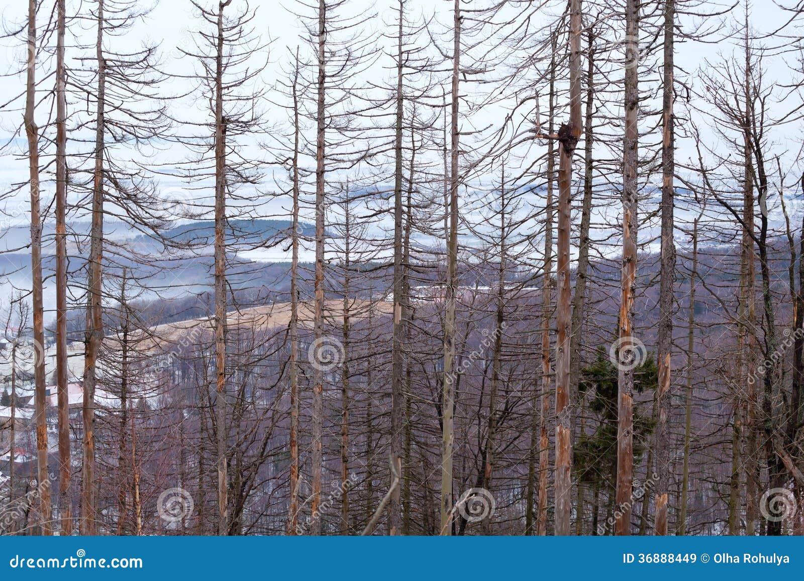 Download Alberi Attillati Asciutti Nella Foresta Di Inverno Immagine Stock - Immagine di esterno, background: 36888449