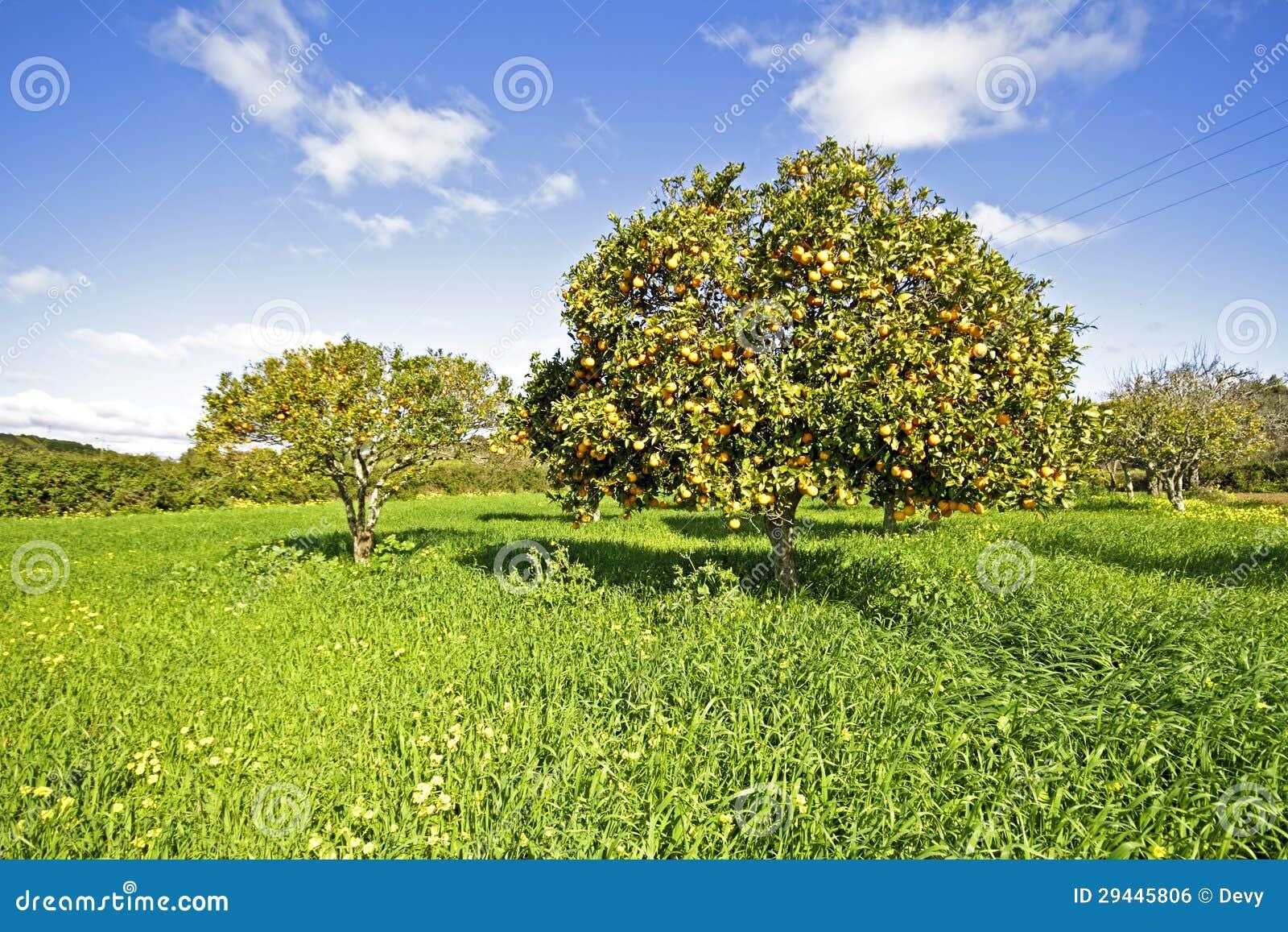 Alberi da frutto arancio con le arance mature fotografia for Alberi da frutto prezzi