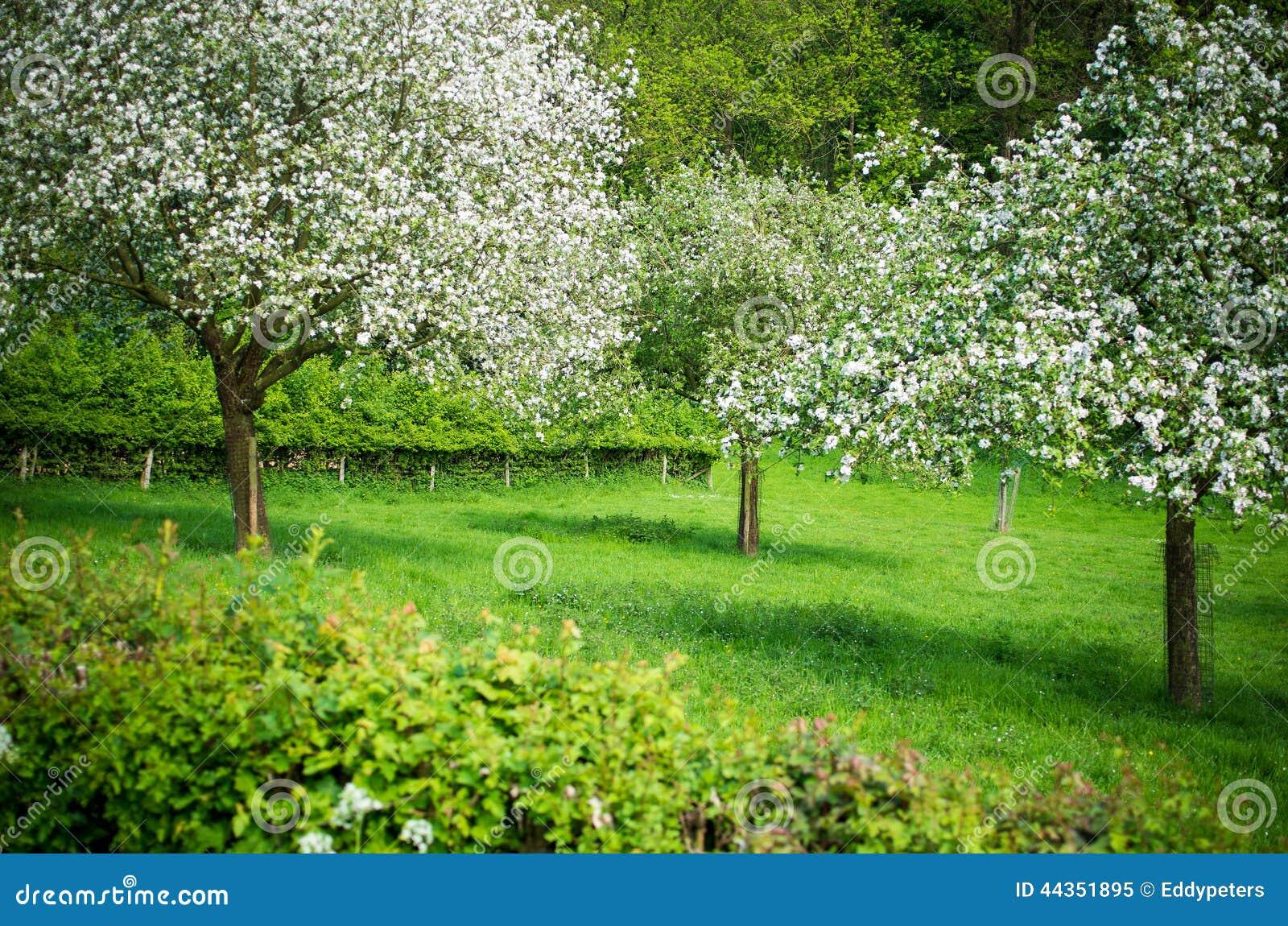 Alberi da frutto che fioriscono in un prato in primavera
