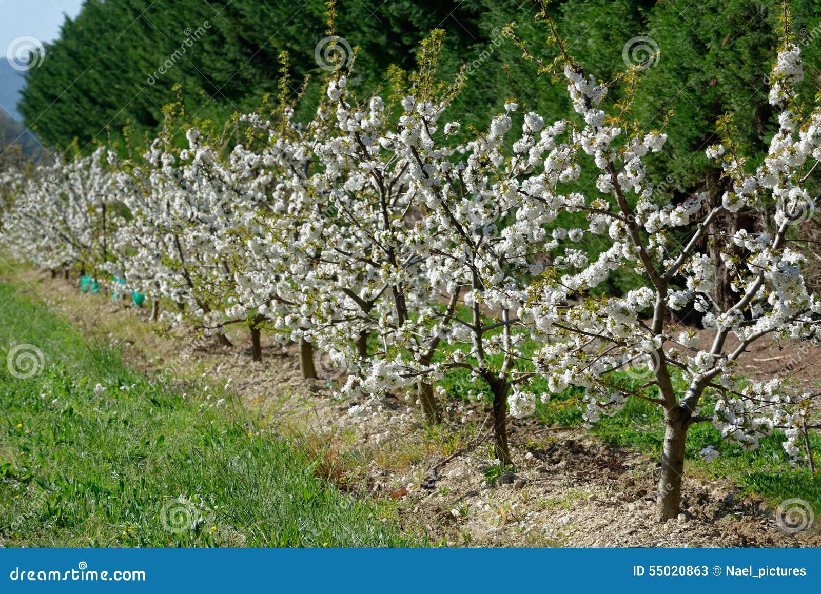 Alberi da frutto fioriti fotografia stock immagine 55020863 for Alberi da frutto prezzi