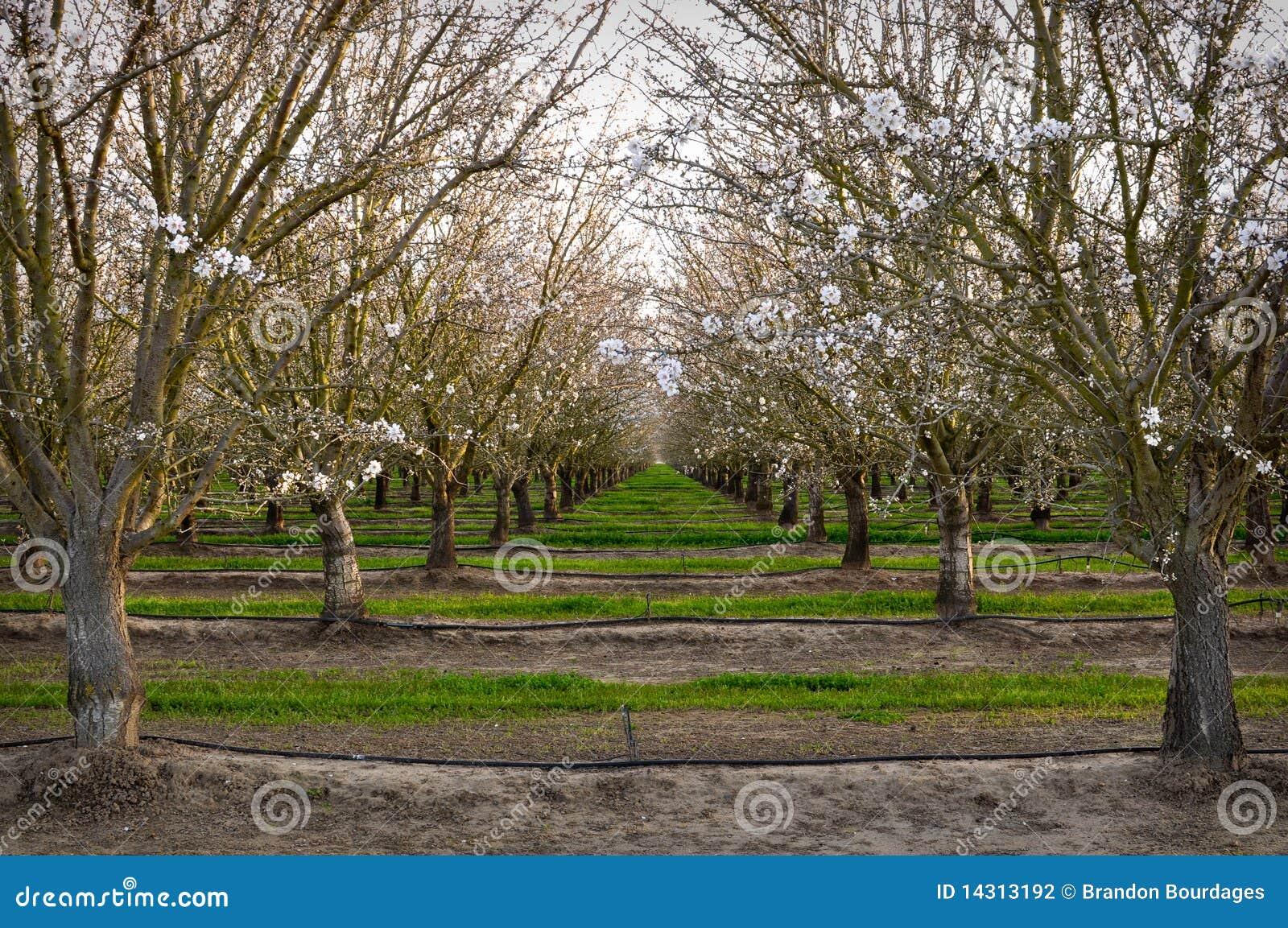 Alberi da frutto in il frutteto di primavera fotografia for Alberi da frutto prezzi