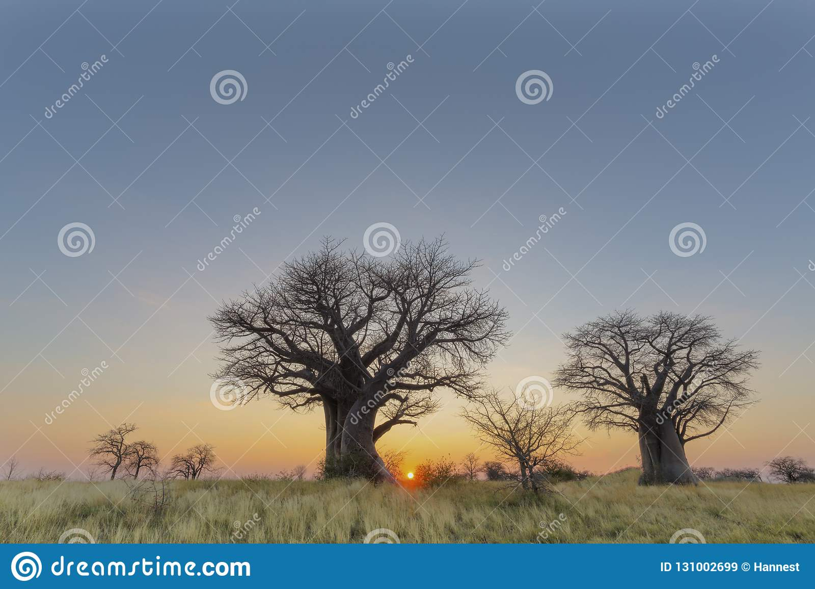 Alberi del baobab ed erba gialla al tramonto