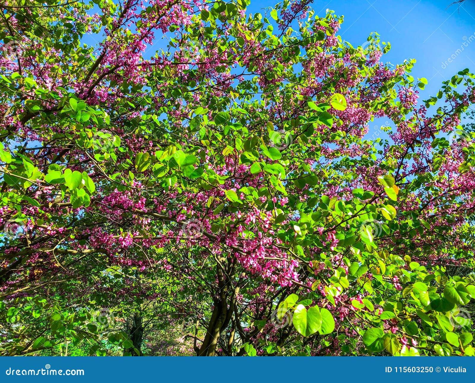 Alberi del fiore nel parco della città in primavera Scena della natura con il sole nel giorno soleggiato