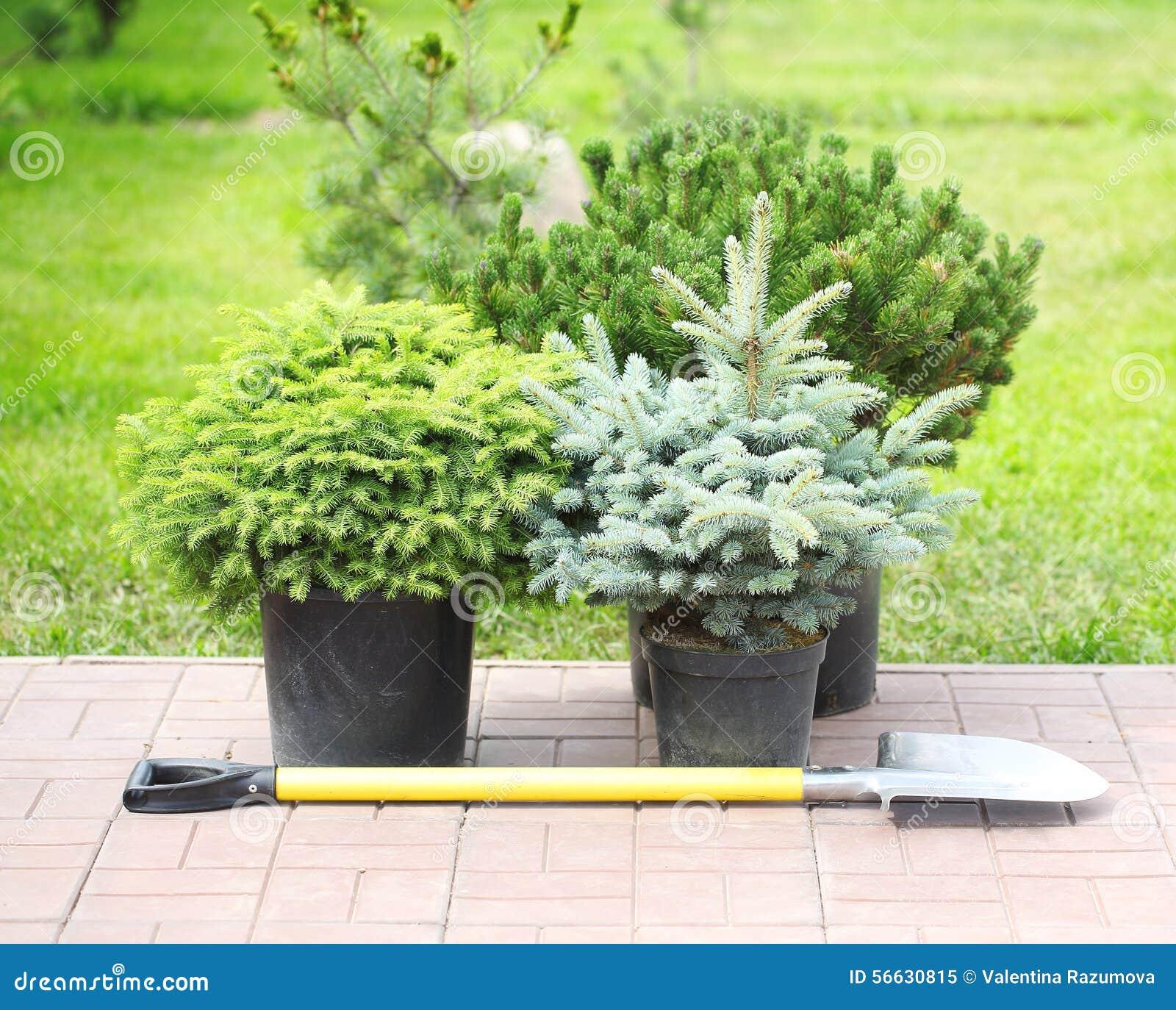 Alberi dell 39 alberello della conifera in vasi immagine stock immagine di decorazione botanica - Prezzi alberi da giardino ...