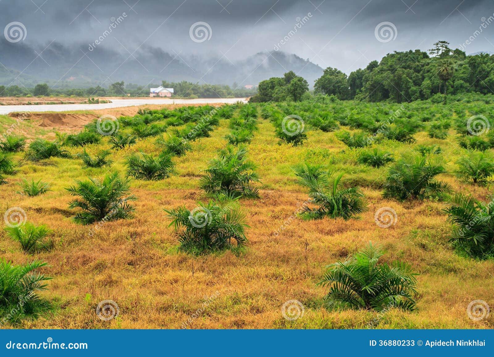 Download Alberi Dell'elaeis Guineensis Immagine Stock - Immagine di vista, botanica: 36880233