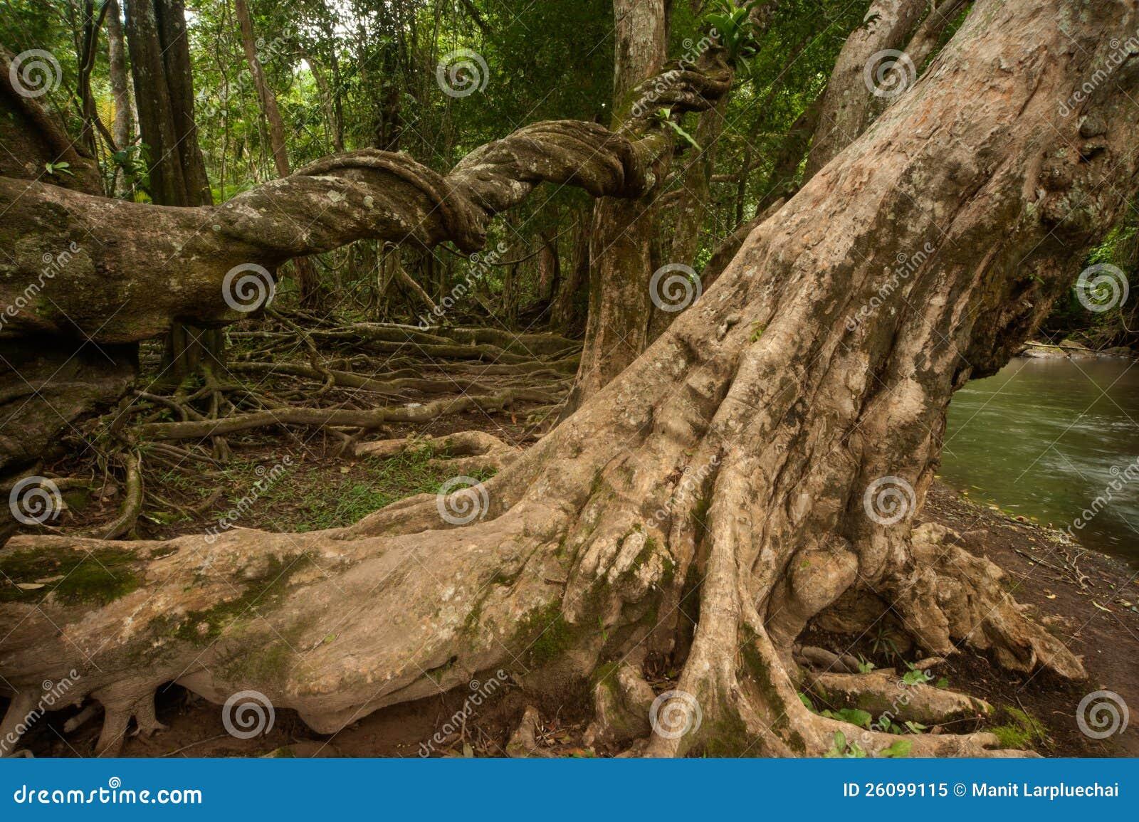 Alberi della radice in foresta.