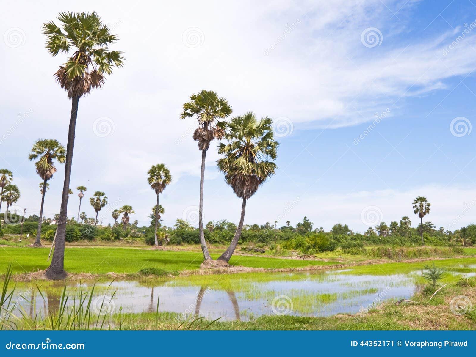 Alberi delle palme da zucchero e giacimento del riso