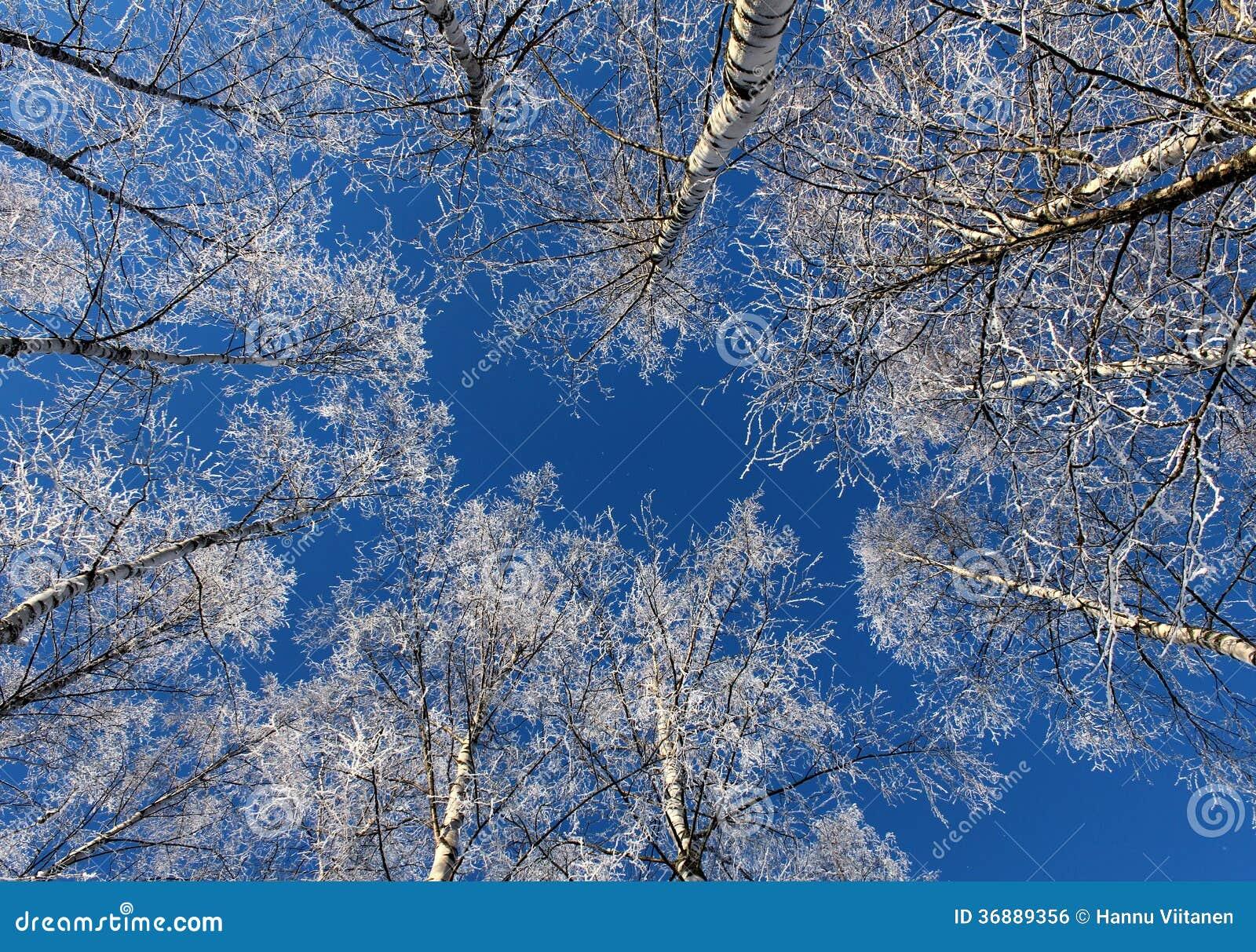 Download Alberi Di Betulla Congelati Contro Cielo Blu Fotografia Stock - Immagine di tempo, temperatura: 36889356