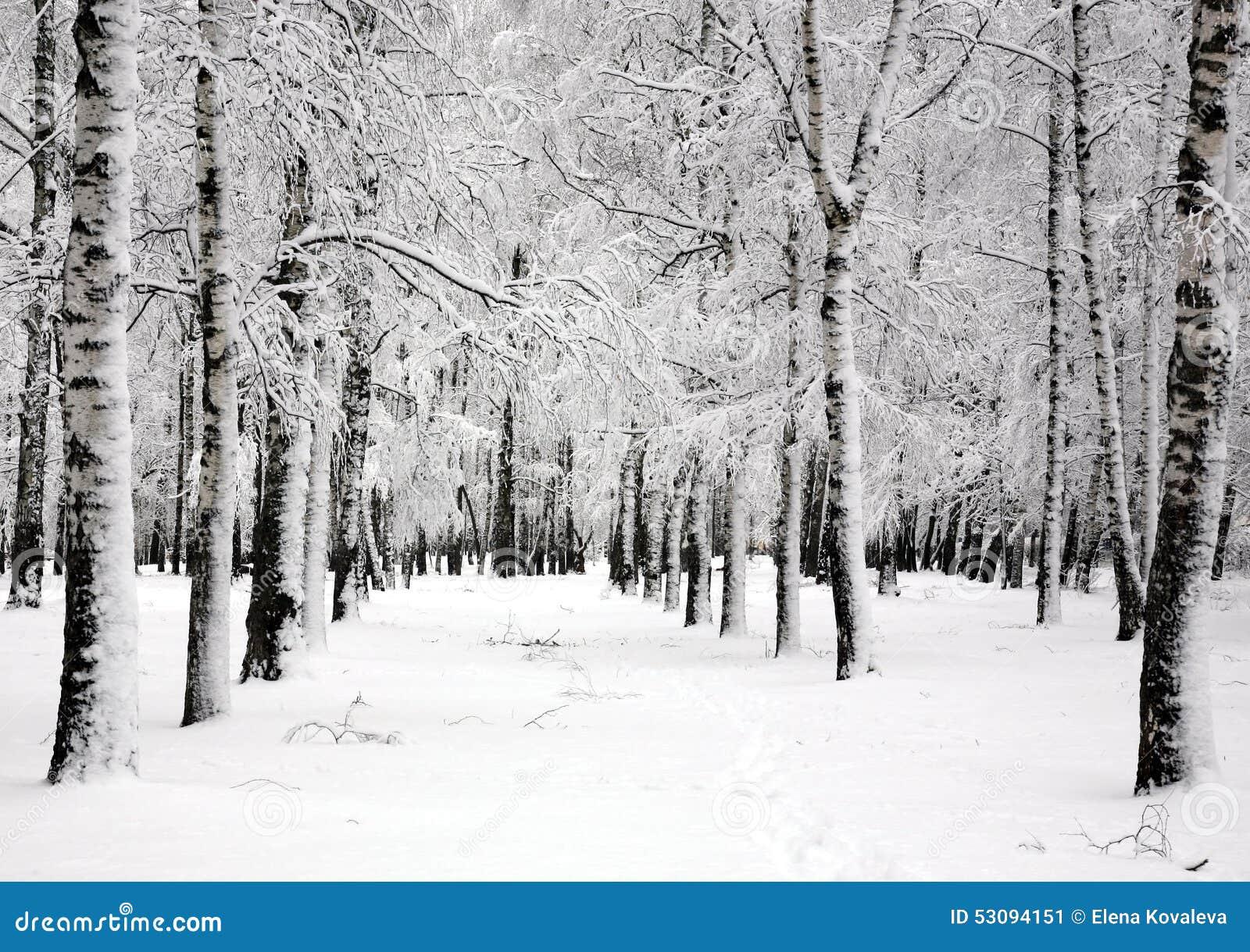 Birch trees in the winter stock photo image 2170700 - Alberi Di Betulla Di Inverno Nel Giorno Di Aprile Di Primavera Immagine Stock