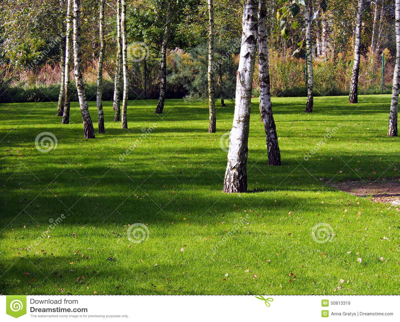 Alberi di betulla sul prato inglese nel giardino immagine - Giardino in inglese ...