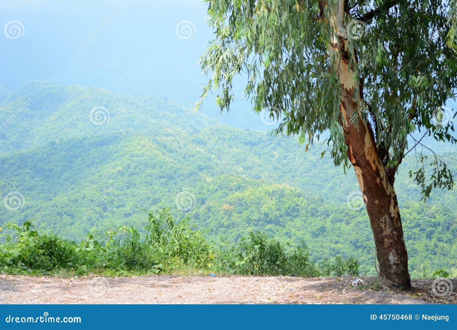 Alberi di eucalyptus