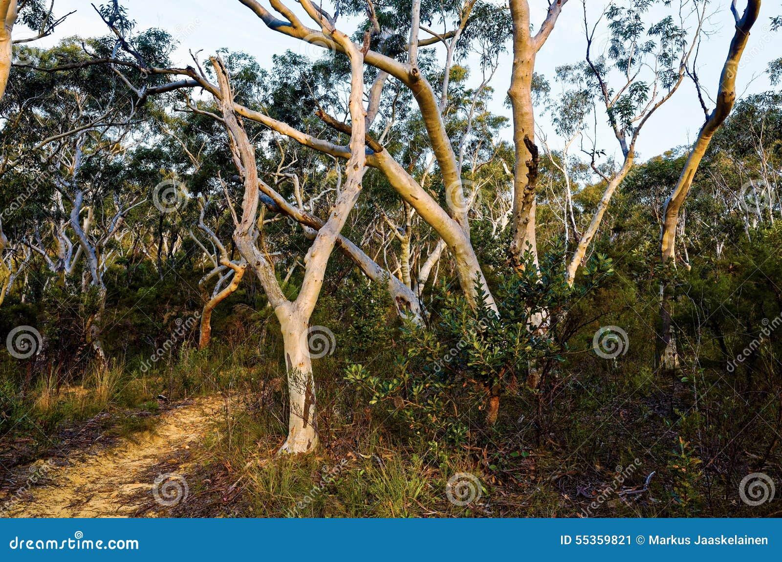 Alberi di eucalyptus che allineano un percorso nel cespuglio australiano