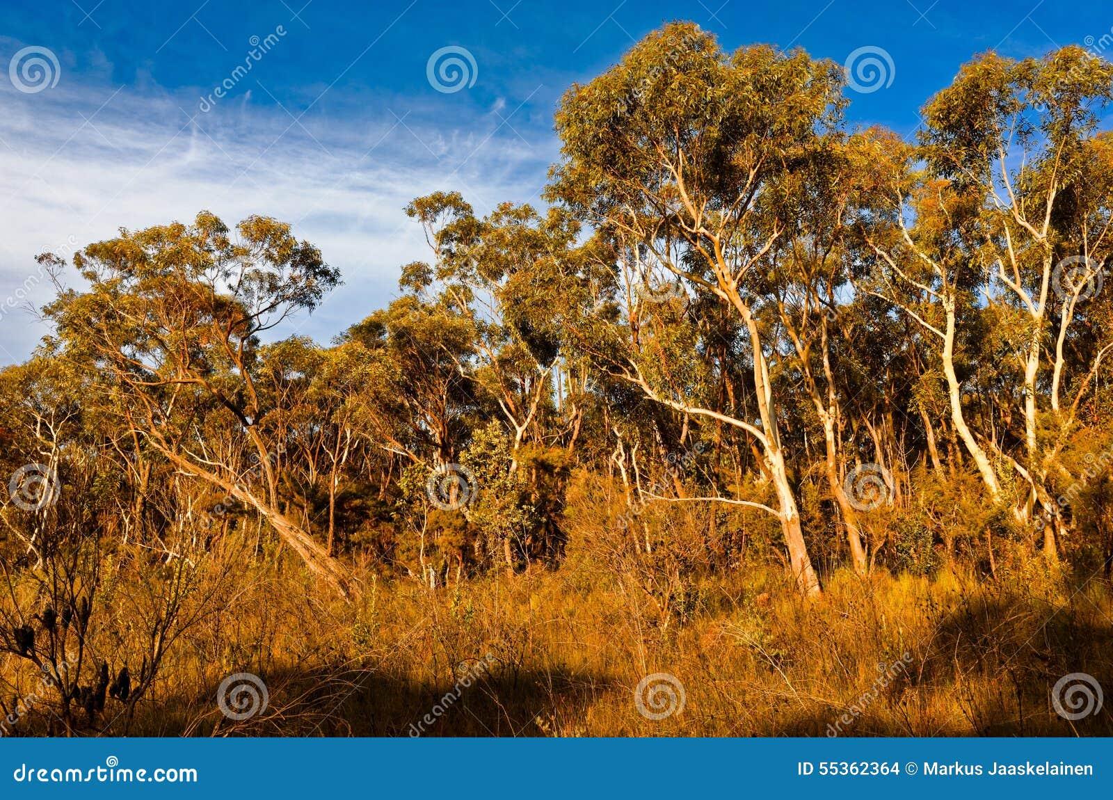 Alberi di eucalyptus nel cespuglio australiano