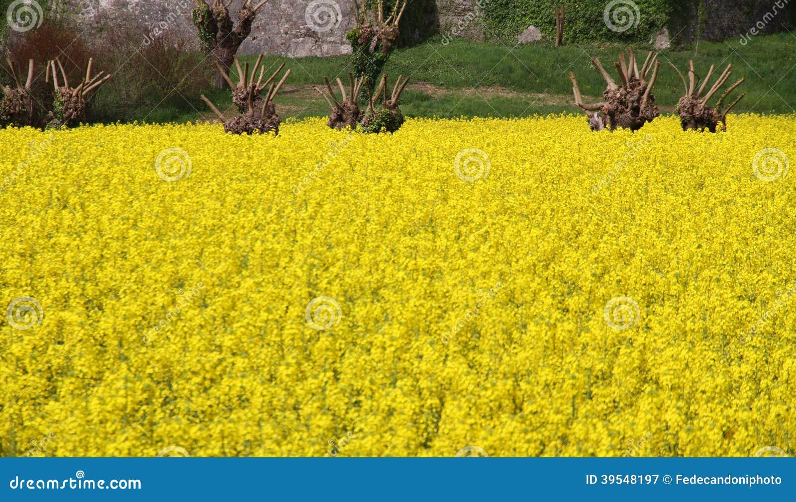 fiori gialli per olio